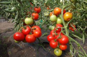 томаты на ветках