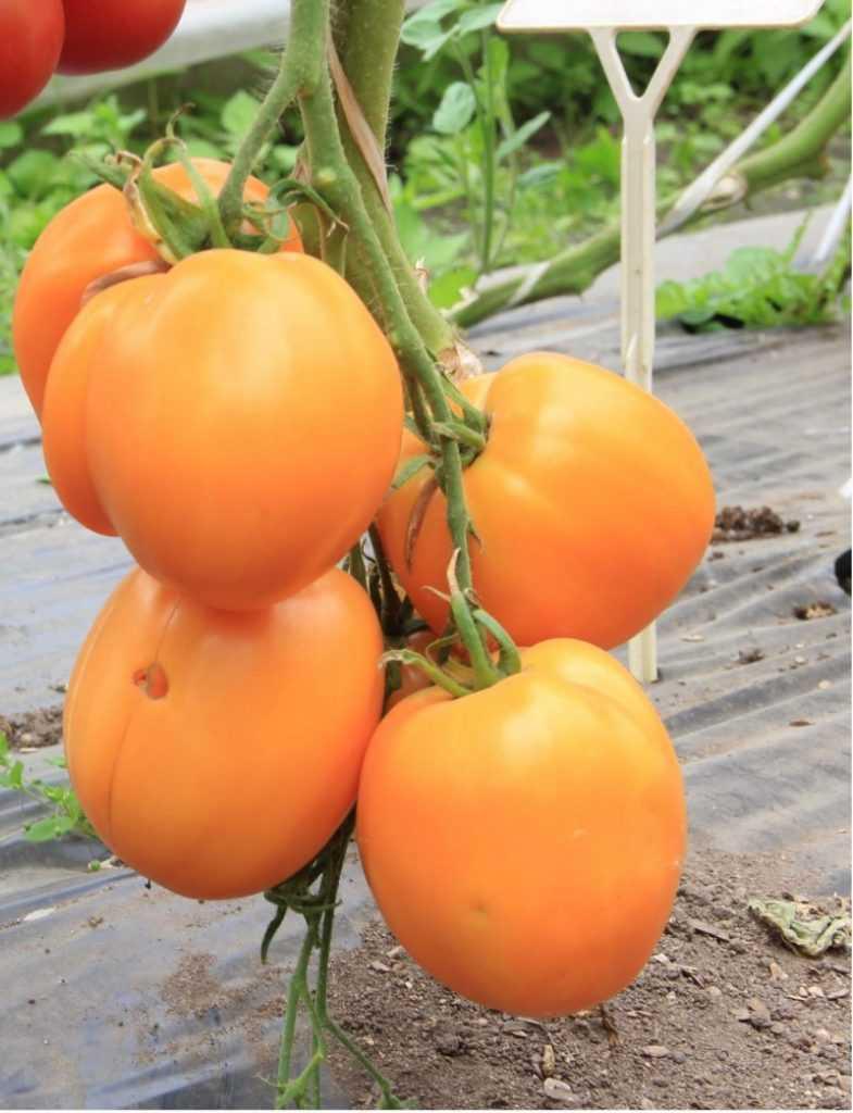 картинки томат благовест нужно для