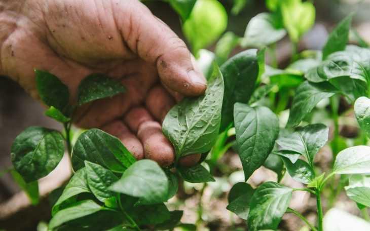 У перцев скручиваются листья - почему это происходит и что с этим делать? (видео + 100 фото)