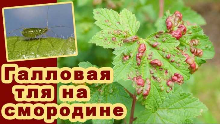 У смородины скручиваются листья чем обработать: 125 фото и видео обработки смородинового куста своими руками