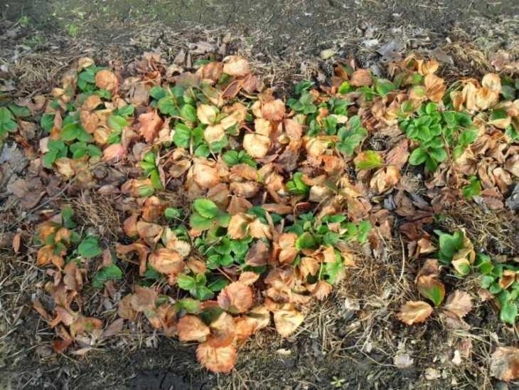 Уход за клубникой - посадка, уход и размножение клубники своими руками (115 фото)