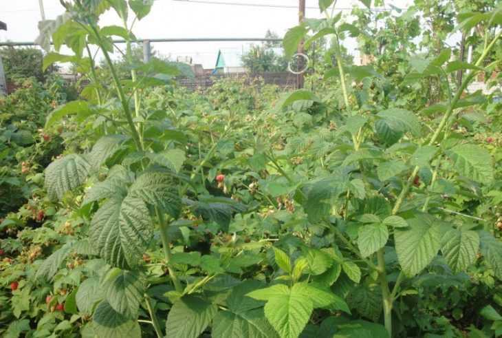 Уход за малиной: 115 фото и видео выращивания, посадки и размножения разных сортов малины