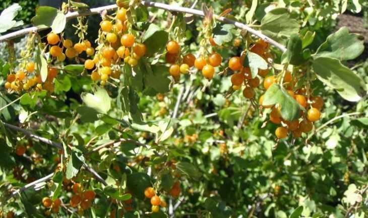 Уход за смородиной: 130 фото правильного выращивания и особенности посадки различных сортов