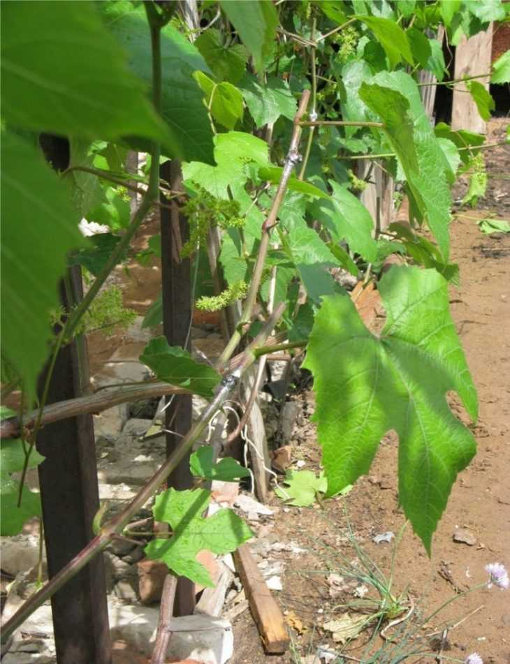 Уход за виноградом: пошаговая инструкция как правильно ухаживать и как правильно выращивать виноград (145 фото)