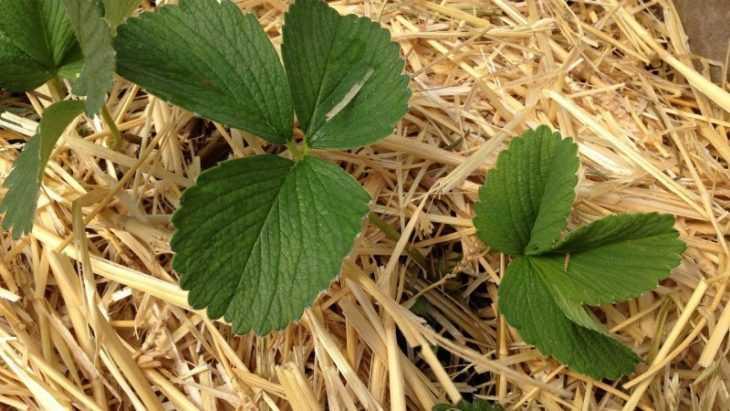 Укрывной материал для клубники: виды, особенности посадки и секреты получения хорошего урожая (110 фото)