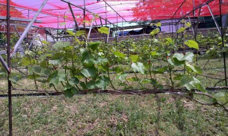 Виноград аркадия: 110 фото и пошаговое видео выращивания винограда сорта Аркадия