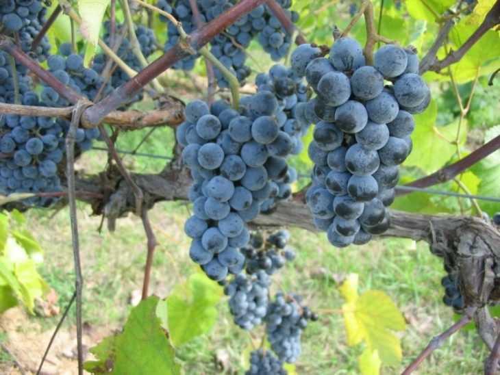 Виноград изабелла: 100 фото и видео мастер-класс выращивания винограда популярного сорта
