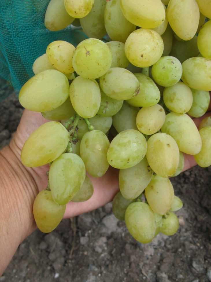 Виноград мускат: 100 фото столовых сортов винограда и особенности его переработки в вино