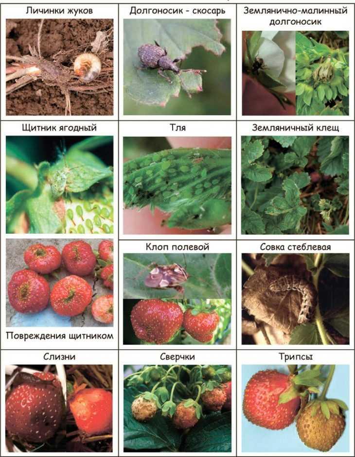 Вредители клубники: 120 фото и видео советы как распознавать и бороться с основными вредителями клубники
