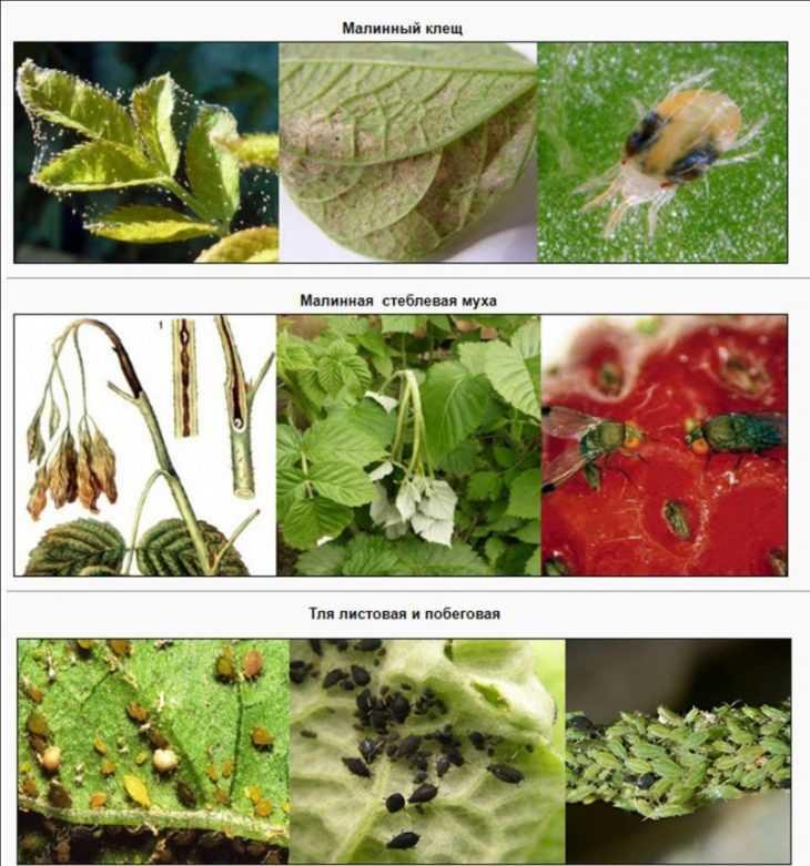 Вредители малины: как выглядят основные вредители и советы по способу защиты от вредителей (видео + 125 фото)