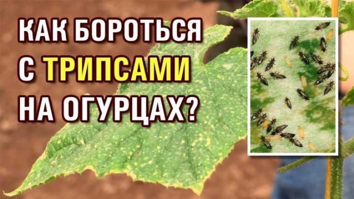 Вредители огурцов - 135 фото, видео и правила обработки огурцов от основных вредителей