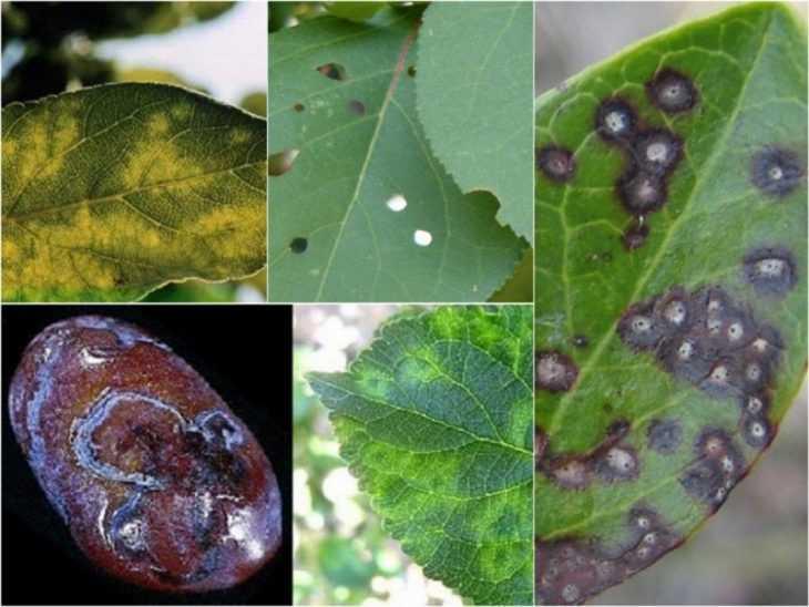 Вредители сливы: виды, варианты лечения, инструкции от садовника + фото