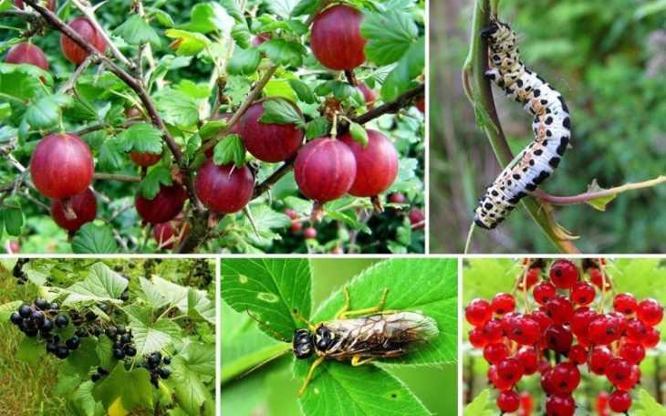 Вредители смородины: 100 фото профилактики и защиты смородины от вредителей