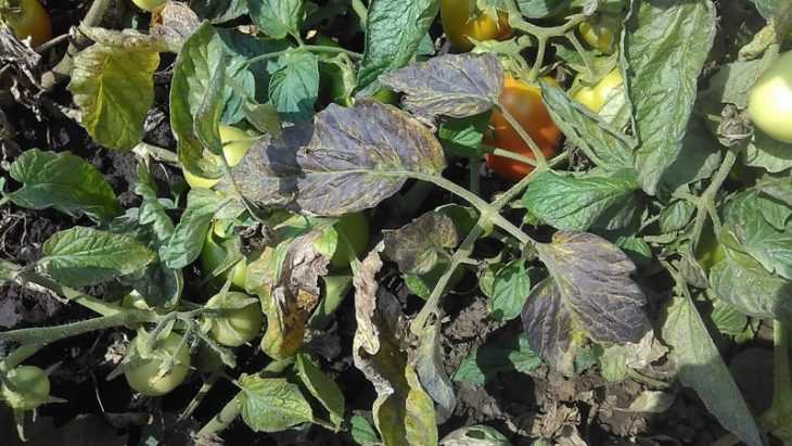 Вредители томатов: 110 фото и видео советы как ухаживать за томатами правильно