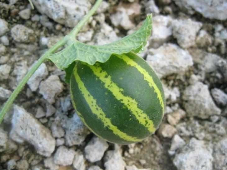 Выращивание арбузов - 100 фото лучших решений и правила сбора урожая бахчевых культур