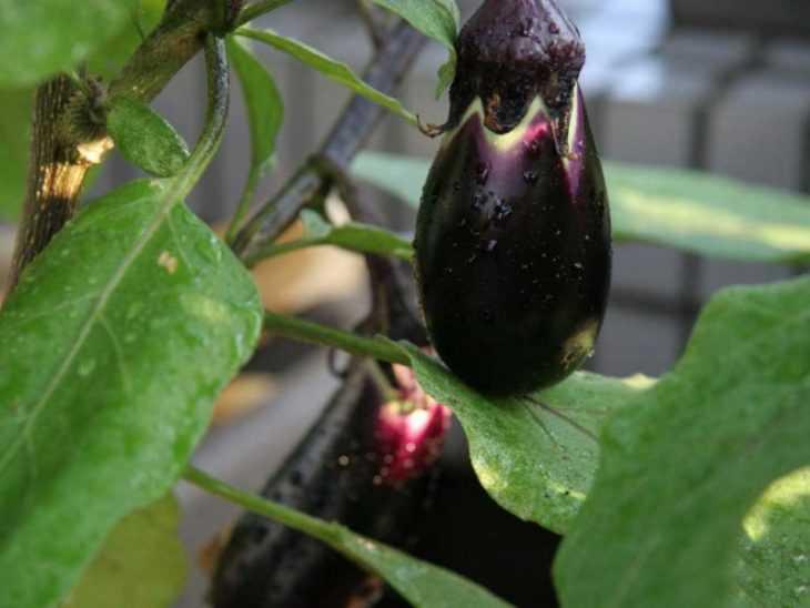 Выращивание баклажанов - 120 фото и основные правила ухода синеньких в открытом грунте