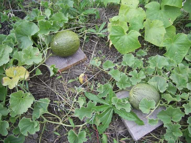 Выращивание дыни: 125 фото и пошаговая видео инструкция по уходу за дыней разных сортов
