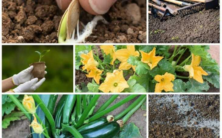 Выращивание кабачков: посадка, уход и секреты правильного выращивания огурцов (115 фото + видео)