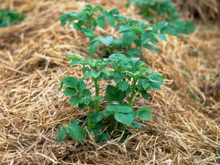 Выращивание картофеля - секреты высокой урожайности и особенности ухода в домашних условиях (105 фото)