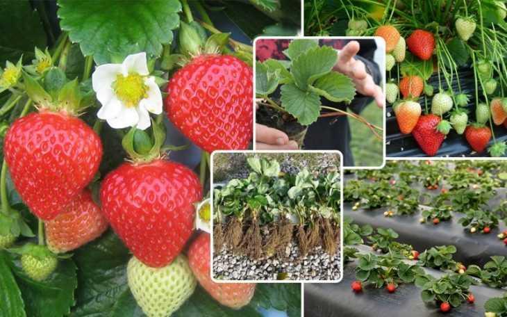 Выращивание клубники: 115 фото и видео особенностей посадки и ухода в домашних условиях