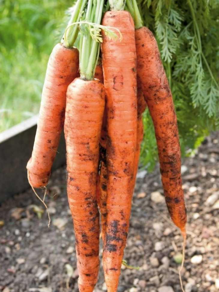Выращивание моркови - 110 фото выращивания в открытом грунте и в теплице