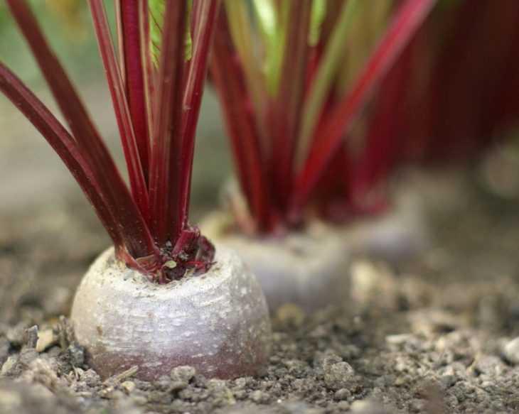 Выращивание свеклы - секреты и технологии посадки и ухода в открытом грунте (115 фото и видео)