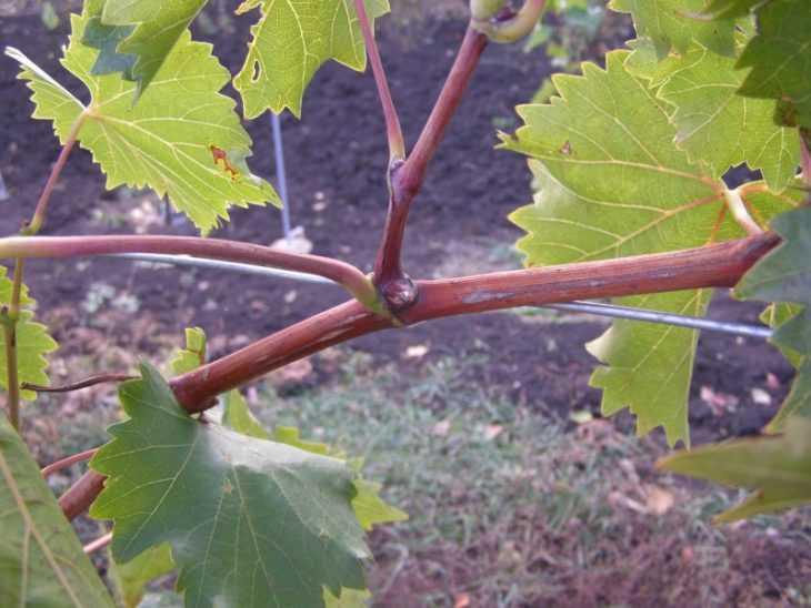 Выращивание винограда: 115 фото и видео советы новичкам по выращиванию виноградников