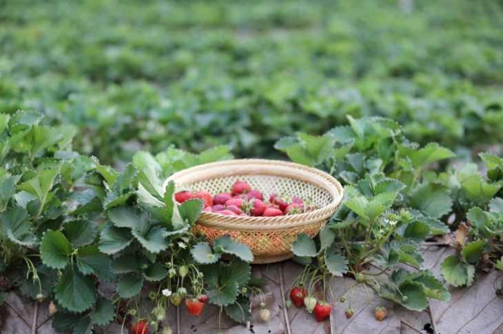 Земляника садовая - посадка, уход, размножение, выращивание и особенности выбора (видео + 115 фото)