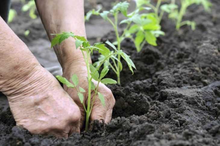 Желтеет рассада помидор: основные причины и советы что делать для спасения урожая (115 фото и видео)